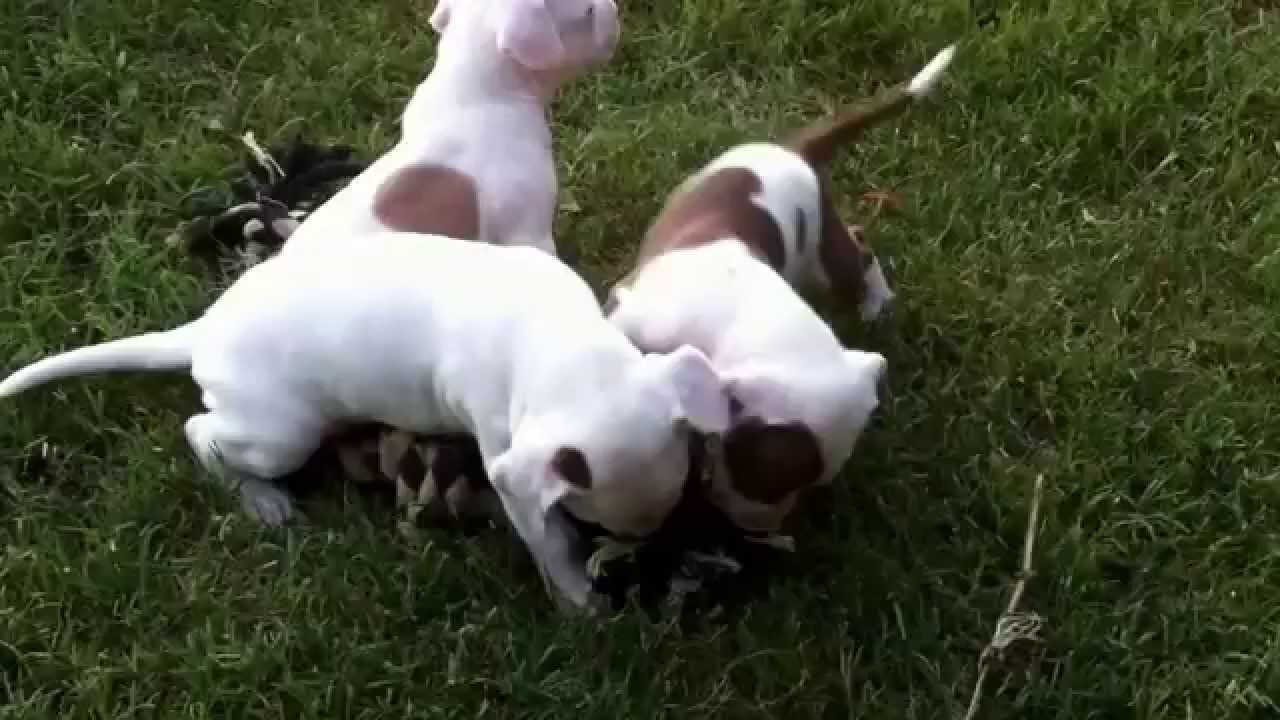 Red Nose Pitbull Puppies Youtube