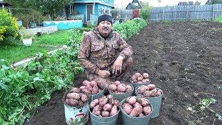 картофель 2019