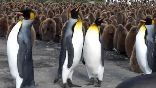 可愛いキングペンギンの喧嘩.