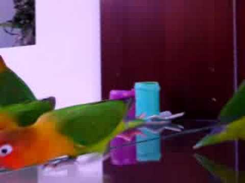 love birds facing mirror