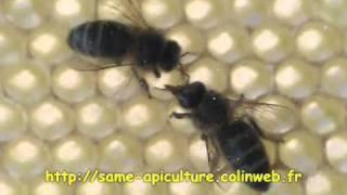 Apis mellifera, trophallaxies entre abeilles.