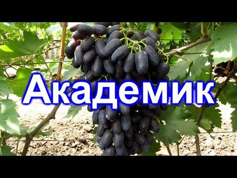Вопрос: Виноград Академик Авидзба . Какие особенности сорта Какие отзывы?