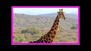 Baixar Giraffe Kills 'Wild At Heart' Director Carlos Carvalho, 47, In Heartbreaking Accident As He Films...