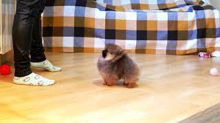 шпиц карликовый (померанский) щенок двухмесячный что значит темперамент