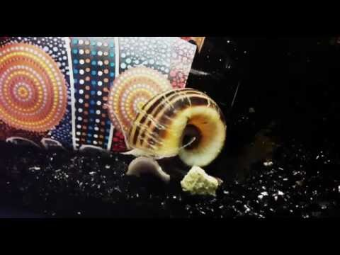 Giant Ramshorn Snail up close