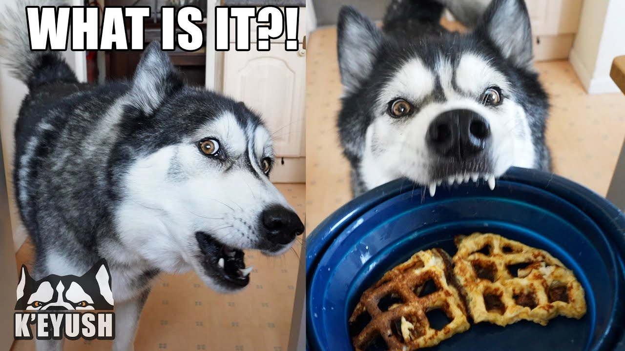 Husky Argues About The Waffle Omelette I Made Him!