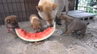 もみじの子犬3兄妹は生まれて初めてスイカを食べます。