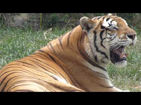 tigre indio tigre de Bengala real Panthera tigris tigris Bengal tiger animal