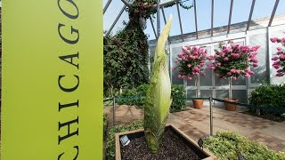 Chicago Botanic Garden Titan Arum (Corpse Flower) RECORDED 8/19/2015