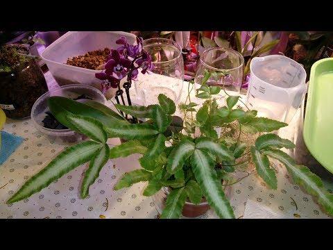 Симбиоз Орхидея и Папоротник | Пересадка Папоротника | Птерис Критский Albolineata | Pteris Cretica