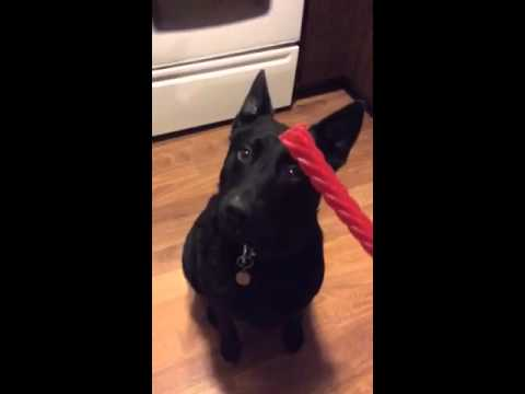 Dog loves red vine licorice
