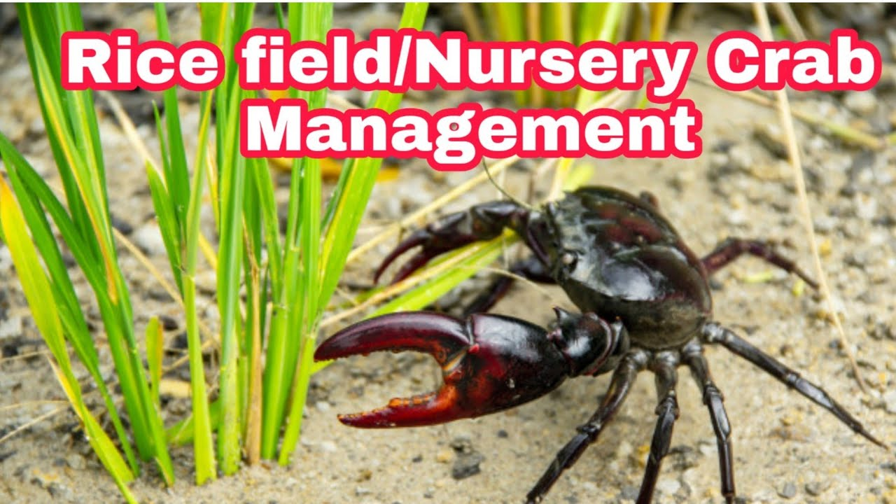 Rice Field/Nursery Crab Management | Rice Crab Pest After First Rain Crab attack
