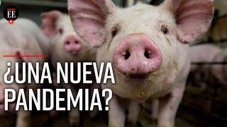 Gripe porcina 2020: científicos advierten de una posible nueva pandemia