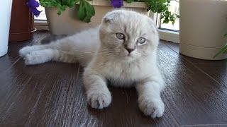Мой котенок Скоттиш Фолд Вислоухий бандит и озорник Scottish Fold