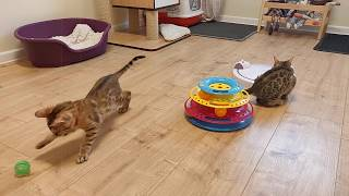 Brown Rosetted Bengal kittens luxurious spotted 12 weeks old.