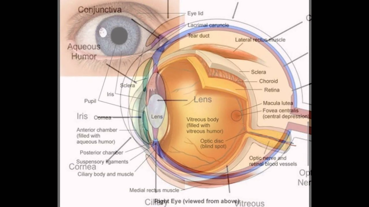 Diagram    Of The Human Eye  YouTube