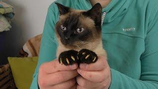 Маникюр для кота. Клеим силиконовые колпачки на когти коту. Кот Маркиз 26 лет.
