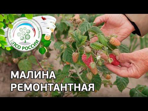 Малина ремонтантная — описание, выращивание, уход. | ремонтантный | ремонтантная | выращивание | описание | сортов | россии | огород | малины | малина | сорта