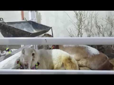 Cow, Goat Bakra at Dadi House, Gulshan e Iqbal, Karachi