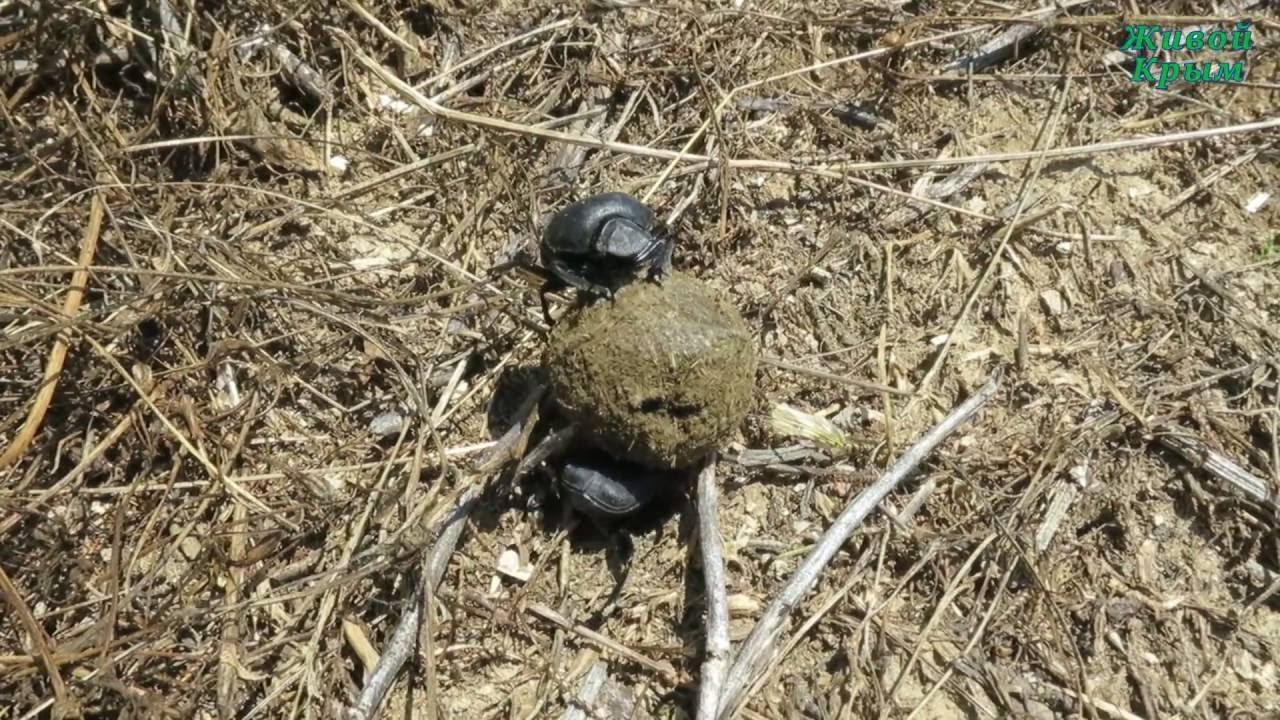 Священный жук скарабей