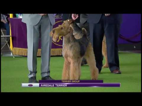 2017 Westminster Dog Show Airedales