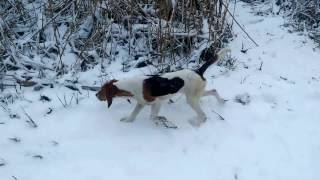 Охота с эстонской гончей (январь 2017)