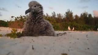 Playful Midway Atoll Laysan Albatross Phoebastria immutabilis