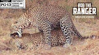 WILDlife: Leopards Pairing In The Open