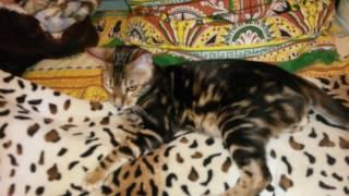 Продаётся бенгальский котёнок мраморного окраса , очень ласковый )