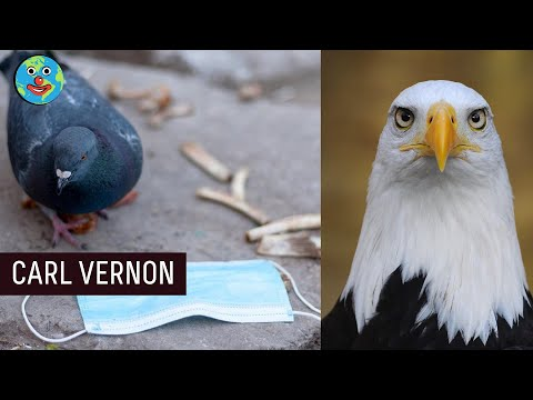 Pigeons and Eagles  | Carl Vernon