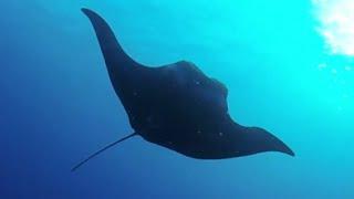 Video The Giant of the ocean: Manta Ray download MP3, 3GP, MP4, WEBM, AVI, FLV Oktober 2018