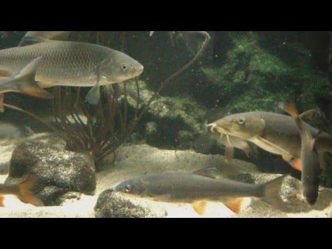 [HD] Feeding European Native Fish / Fütterung Einheimische Fischarten @ Aquazoo [46/52]