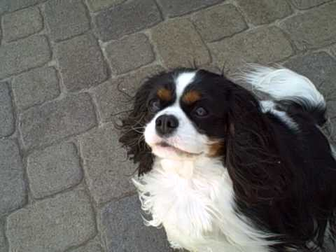 Lacey my Cavalier KIng Charles Spaniel showing Bucks her