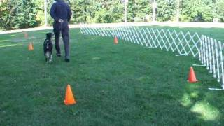 Rally Obedience Practice With Distractions-border Collie Pointer Mix