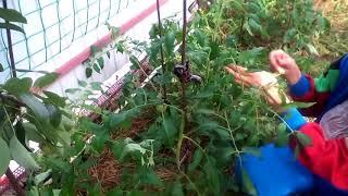 Пасынкование и подвязка помидор. #суфикс
