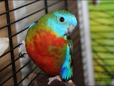 Самый тихий попугай на свете! Поет самец травяного лазурного попугая