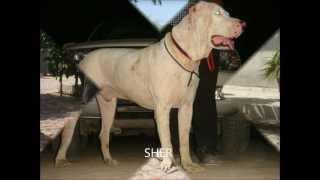 LAKHEWALI DOG BREEDERS MUKTSAR(PUNJAB)INDIA, SIRSA,HARYANA