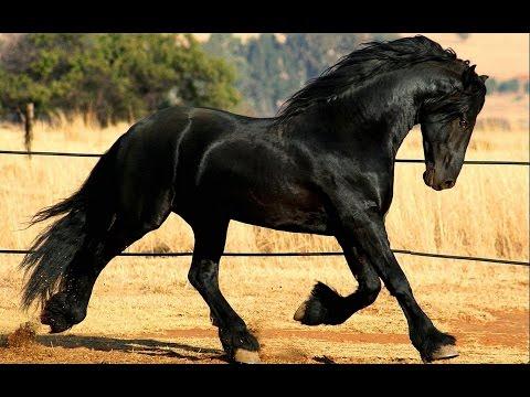 Фриз красивая порода лошадей.