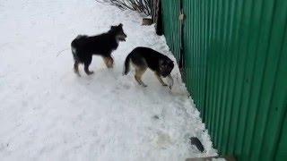 """собаки для охраны ( приют """"Лучший друг"""")"""