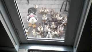 Baby ducks following me