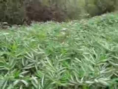 сабельник трава фото