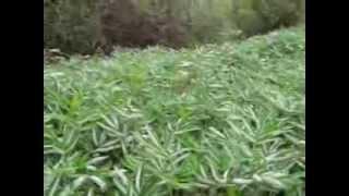 Рассказ про траву сабельник-болотный. г.Киров