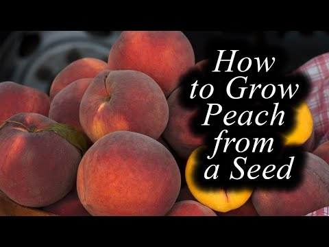 🍑how-to-grow-a-peach-tree/apricot-tree-from-a-seed🍑