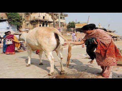 Cow India Gau Mata Ki Pooja Must Watch Gau Mata Bajan Song how to gau mata ki aarti