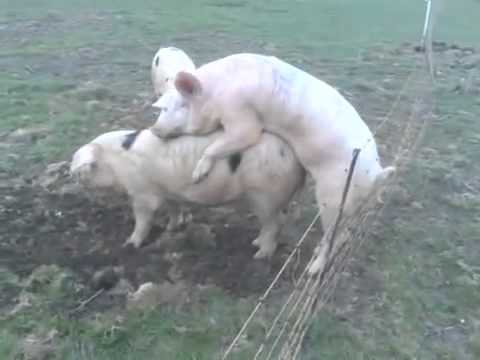 Pity, pig having sex with women video