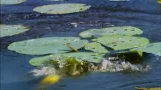 Topwater Fishing with Rage Toad - Strike King Fish Hard