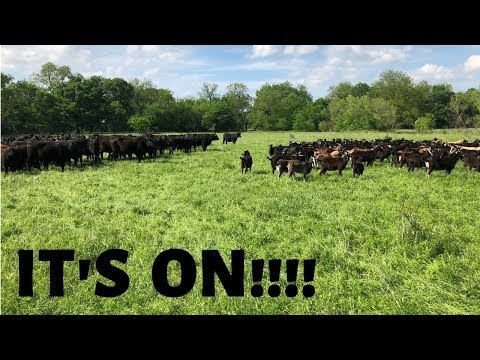 Cows And Goats First Meeting!!!!!