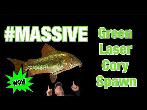 Fish Room First - CW009 Green Laser Corydoras Spawn