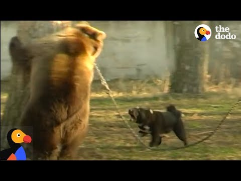 Bear Used to Train Hunting Dogs Rescued | The Dodo