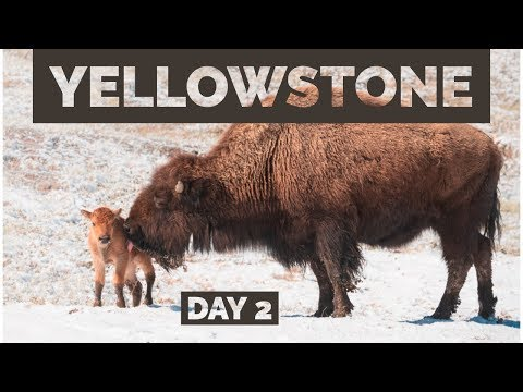 Springtime Wildlife Photography in Yellowstone - Day 2